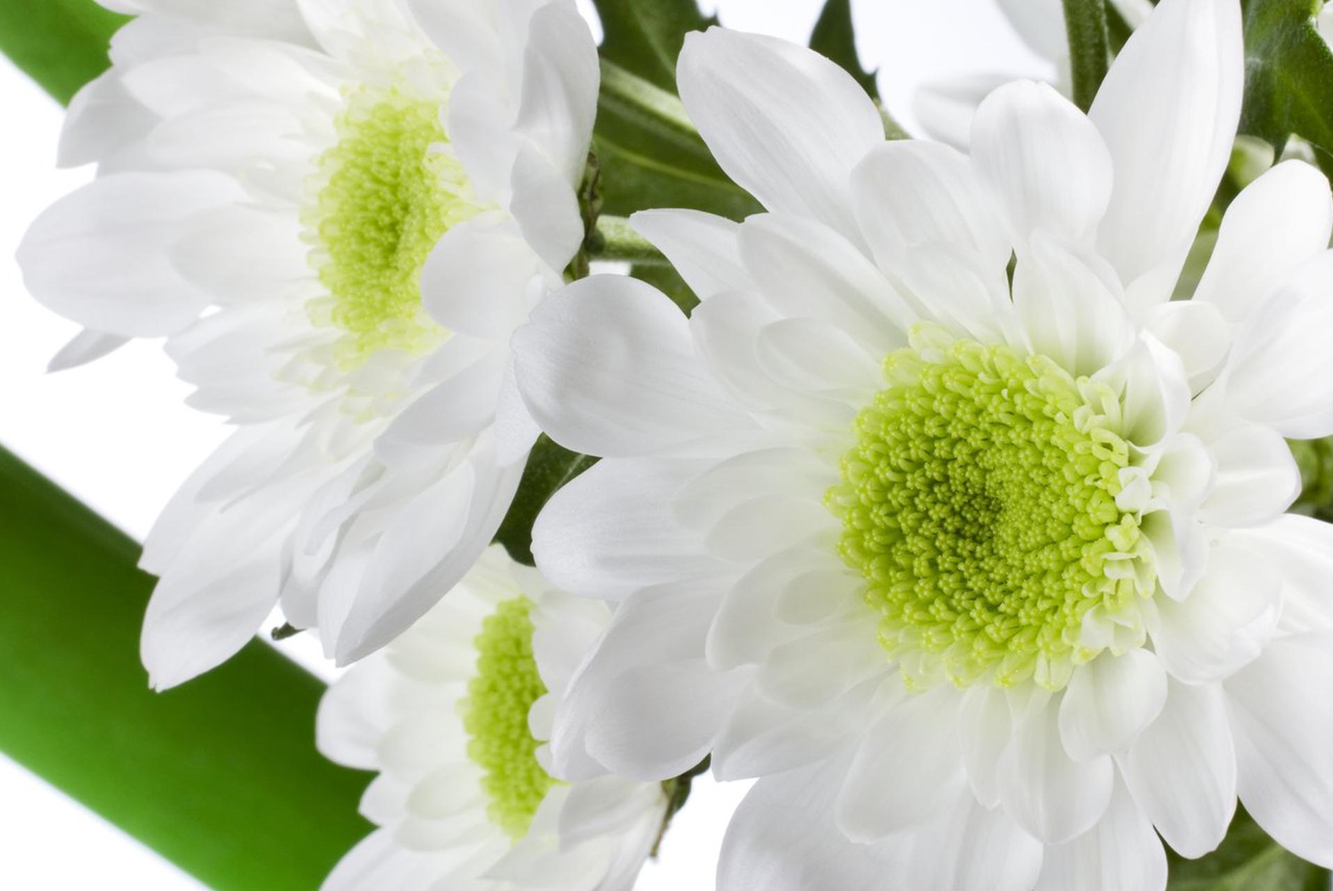 белые хризантемы фотографии
